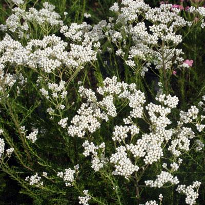 Aussie plants online for australian gardens mightylinksfo